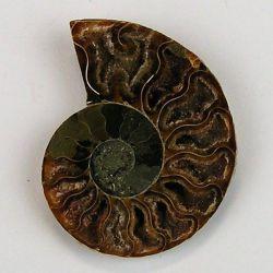 Amonit Cleoniceras